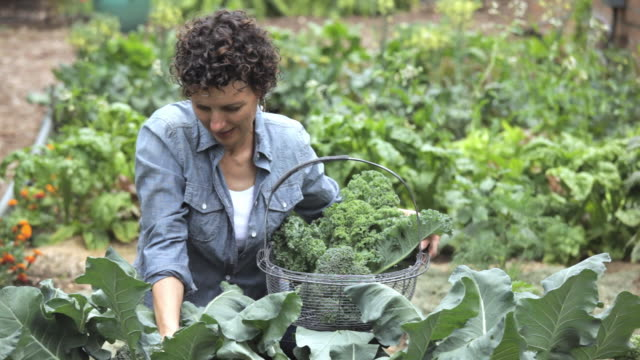 hispanic woman picking organic broccoli in home garden, richmond, virginia, usa - ブロッコリー点の映像素材/bロール