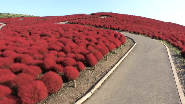 Hitachi Seaside Park in Hitachinaka Ibaraki Prefecture has become a sea of fiery vermillion as about 32000 kochia bushes have taken on their fall hue...