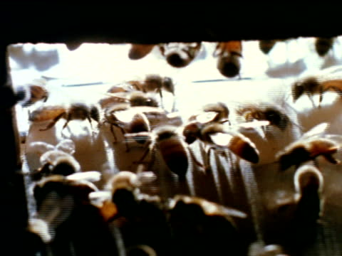 vídeos de stock, filmes e b-roll de pan honey bees walking entering leaving hive cu ext hive box w/ honey bees entering leaving xcu honey bee workers standing at entrance of hive... - abelha obreira