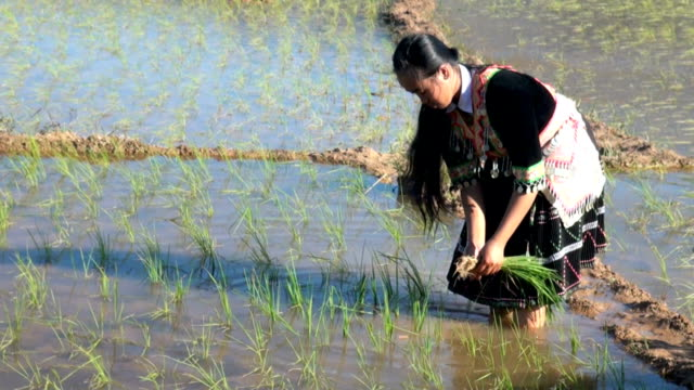 hmong working on rice paddy - laos stock videos & royalty-free footage