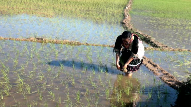 hmong works on rice paddy - laos stock videos & royalty-free footage