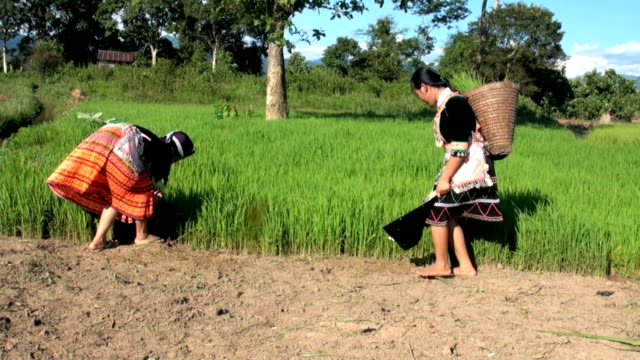 hmongs working on rice paddy - laos stock videos & royalty-free footage