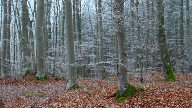 hoar frost in forest. - bare tree stock videos & royalty-free footage