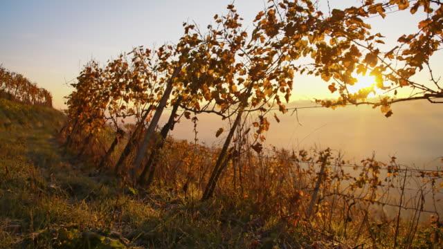 hoarfrost on the vine in the dawn - prekmurje stock videos & royalty-free footage