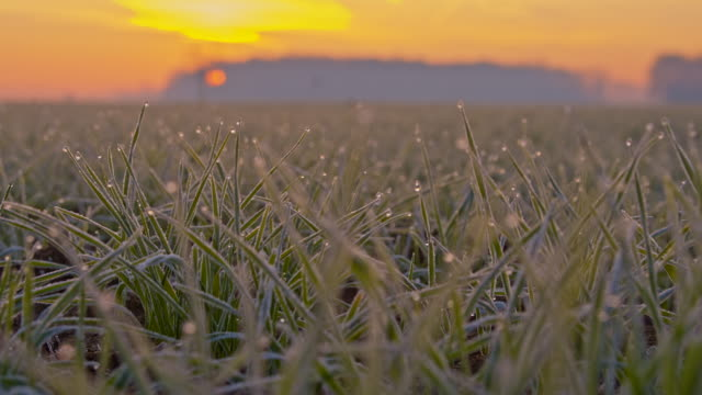 CU DS Hoarfrost On Wheat Plants