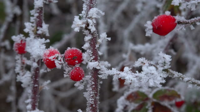 Hoarfrost with dogrose in winter