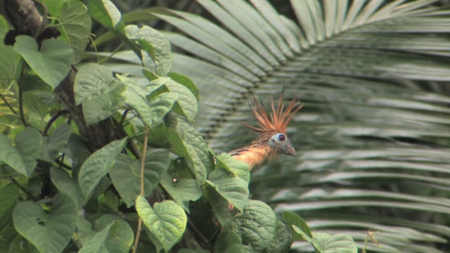 ms la hoatzin (opisthocomus hoatzin) perching in tropical bush, then flies away in manu national park / peru - tropical bush stock videos & royalty-free footage