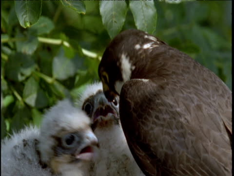 hobby feeds two chicks in nest - receipt stock videos & royalty-free footage