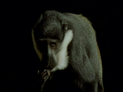 l'hoest's monkey licks fingers against black background, africa - chroma key stock videos & royalty-free footage