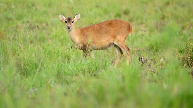 hog deer in meadow - deer stock videos & royalty-free footage