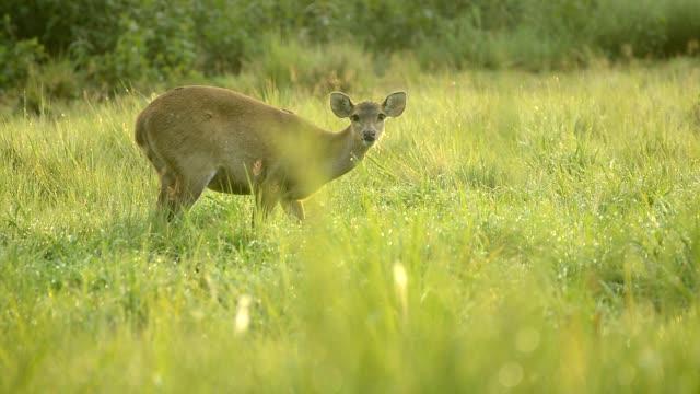 Hog deer in meadow