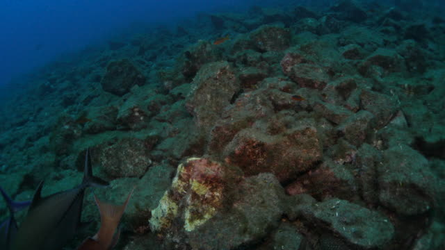 Hog Fish, undersea, Revillagigedo Islands, Mexico