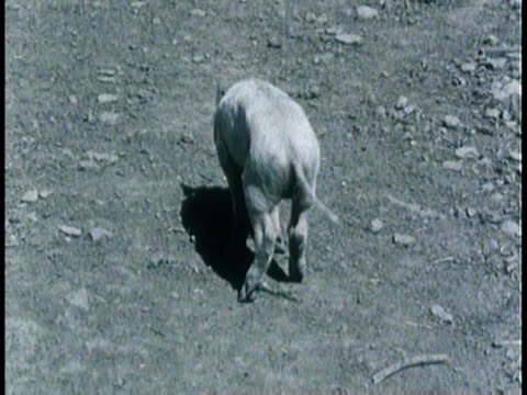 1963 montage hog suffering from terminal stage of hog cholera / united states - livestock stock videos & royalty-free footage