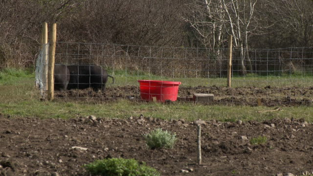 hogs in fenced-in area - rubble stock videos & royalty-free footage