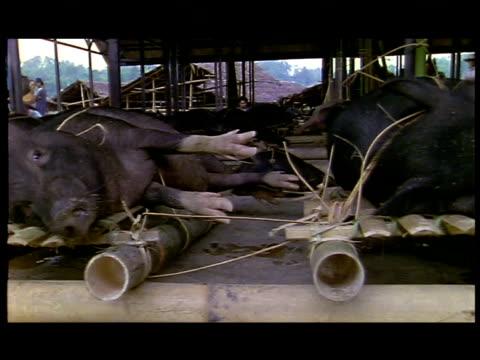 hogs lie tied to wooden pallets at a market. - schwein stock-videos und b-roll-filmmaterial