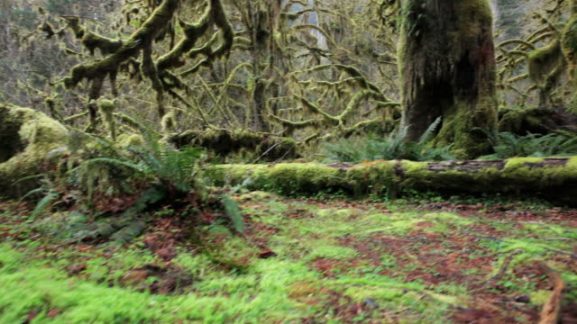 CS, Hoh Rain Forest, Hall of Mosses, Olympic National Park, Washington