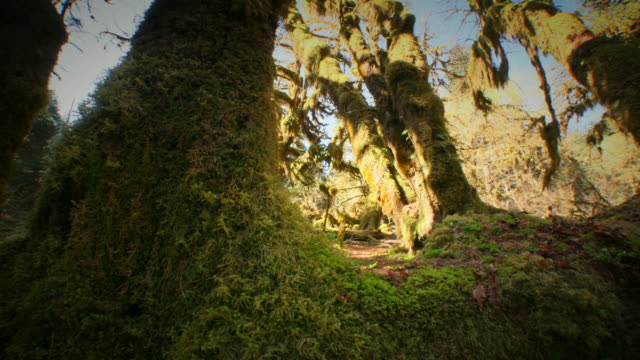 hoh rain forest  - olympic national park stock videos and b-roll footage