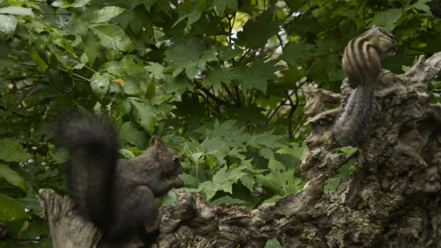 hokkaido red squirrel and siberian chipmunk eat nuts, hokkaido, japan. - chipmunk stock videos & royalty-free footage