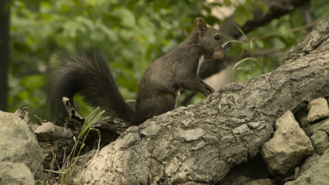 Hokkaido red squirrel carries nut away, Hokkaido, Japan.
