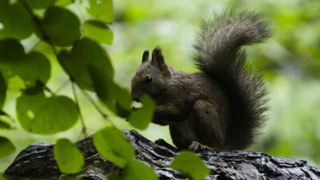 Hokkaido red squirrel eats nut, Hokkaido, Japan.