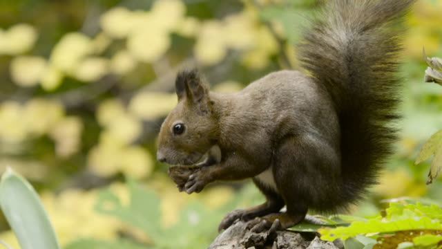 hokkaido red squirrel eats nut, hokkaido, japan. - squirrel stock videos and b-roll footage
