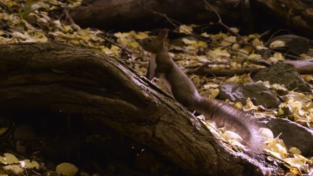 hokkaido red squirrel hops around forest floor, hokkaido - log stock videos & royalty-free footage