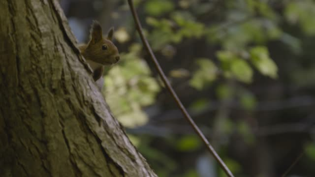 hokkaido red squirrel on tree trunk, hokkaido - tree trunk stock videos & royalty-free footage