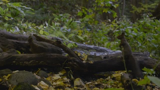 hokkaido red squirrel runs over fallen branches, hokkaido - log stock videos & royalty-free footage