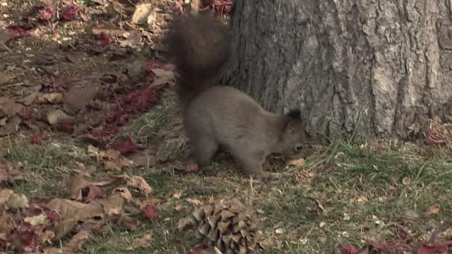 Hokkaido Squirrel Caching Food