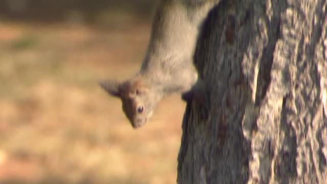 Hokkaido Squirrel Descending Tree