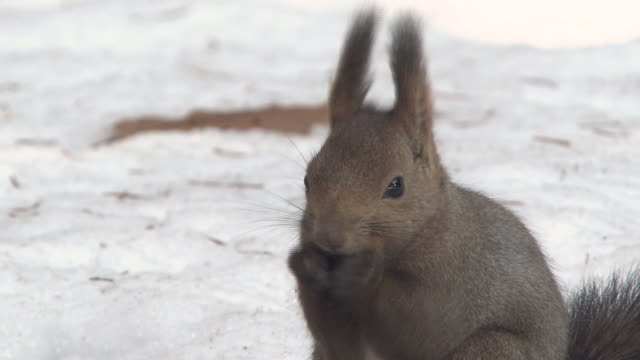 hokkaido squirrel in woods with snow - nut food stock videos & royalty-free footage