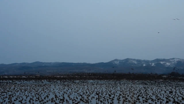 hokkaido--taking a breather before their long northward migration to the russian far east, tens of thousands of white-fronted geese are gathered at... - グレイグース点の映像素材/bロール