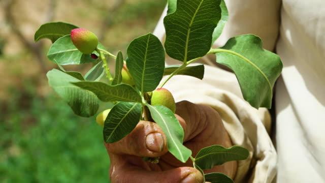 Holding a pistachio branch