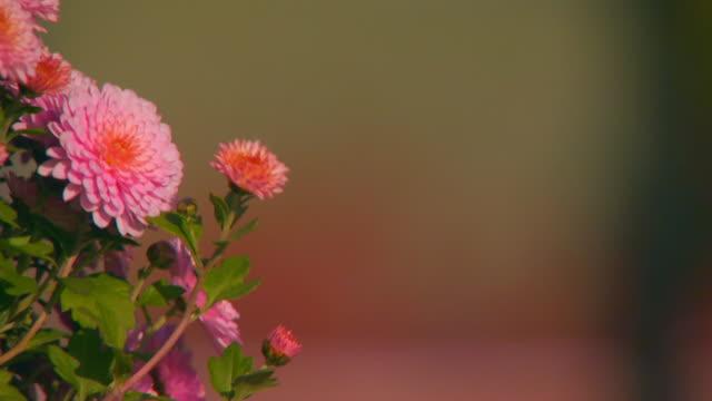 vídeos y material grabado en eventos de stock de holland, michiganflower - crisantemo