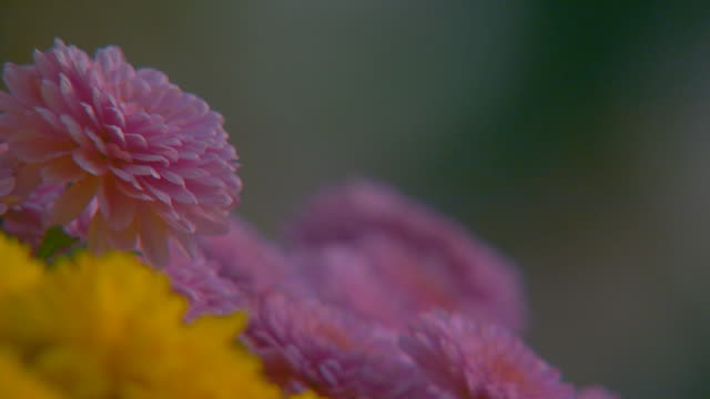 vídeos y material grabado en eventos de stock de holland, michiganmums in autumn - crisantemo