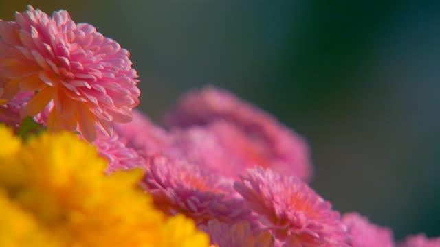 vídeos y material grabado en eventos de stock de holland, michigansunlight on flowers - crisantemo
