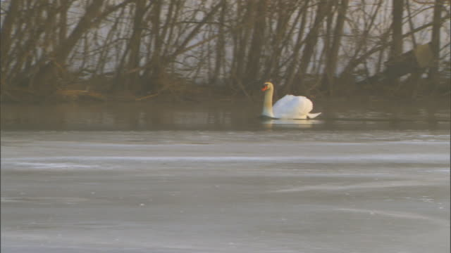 Holland, MichiganSwan on icy pond
