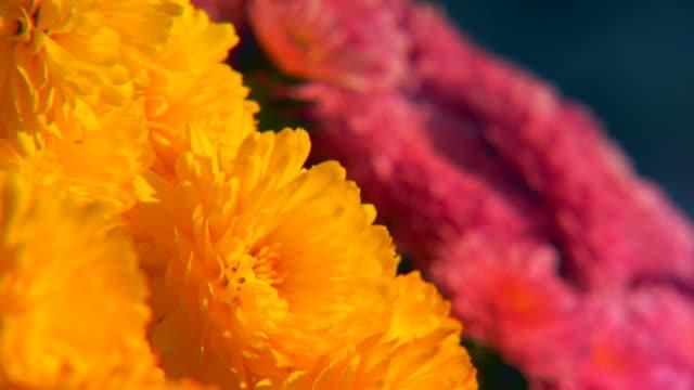 vídeos y material grabado en eventos de stock de holland, michiganyellow and purple mums - crisantemo