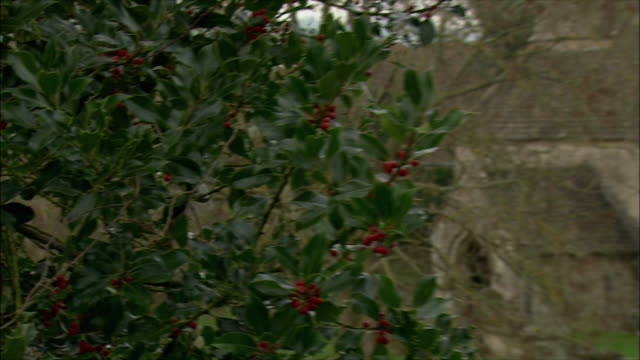 CU PAN MS Holly (Ilex aquifolium) and St Mary church with old cemetery in Swainswick village / Somerset, United Kingdom
