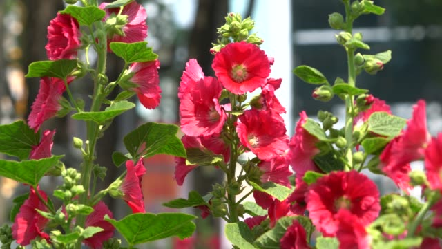 Hollyhock Mallow flowers