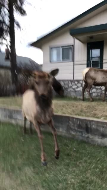 stockvideo's en b-roll-footage met holy smokes! this video of a man in jasper, canada - filming a passing elk as innocently as you please before being suddenly and ruthlessly charged... - genomen met mobiel apparaat