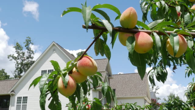 Home grown peaches in Georgia, USA (NO AUDIO)