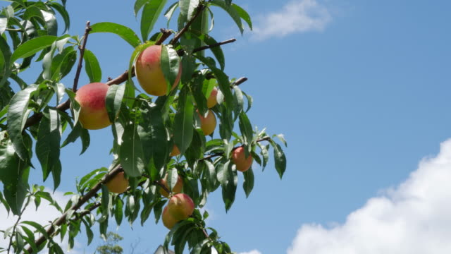 home grown peaches in the south of america (no audio) - peach stock videos & royalty-free footage