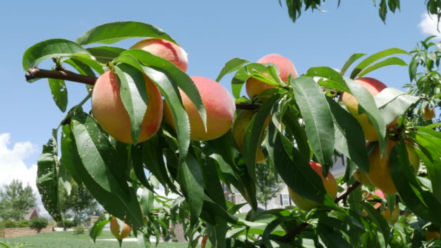 Home grown peaches in the south of America