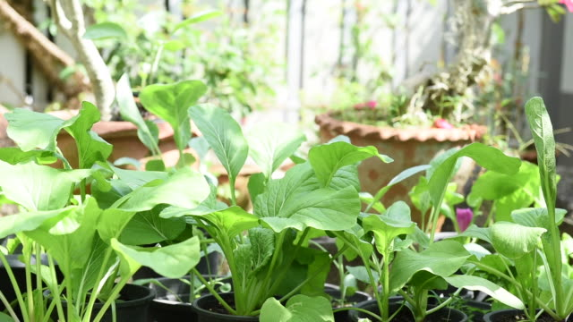 home plant chinese cabbage garden - leaf vegetable stock videos & royalty-free footage