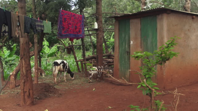 home with calf & goat outside - wiese stock videos & royalty-free footage