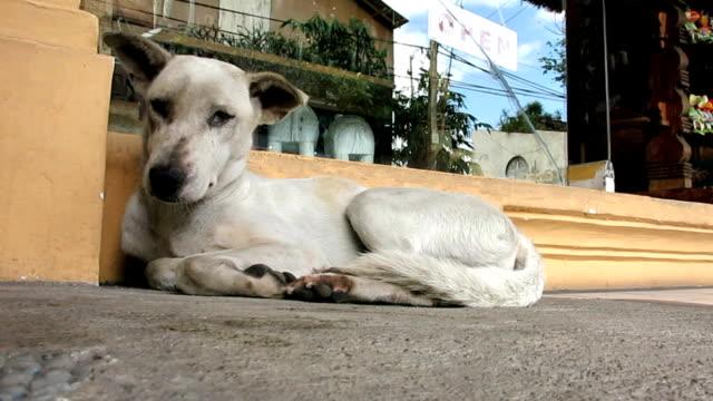 homeless stray dog, bali, indonesia, asia - rabbia virus video stock e b–roll