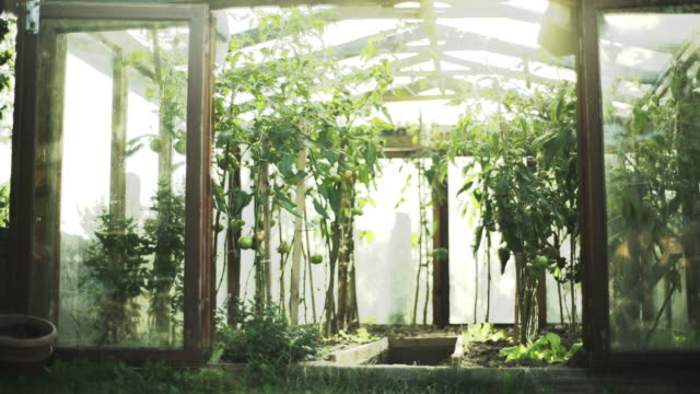 homemade greenhouse full of tomato branches - ketchup stock videos and b-roll footage