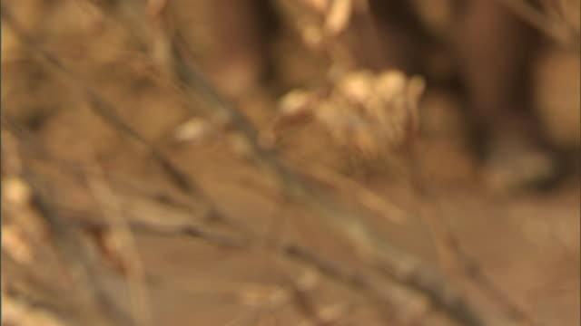 stockvideo's en b-roll-footage met homo erectus creatures walk across a muddy field. - prehistorische mens
