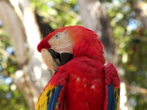 cu, la, honduras, colorful parrot preening - preening stock videos & royalty-free footage